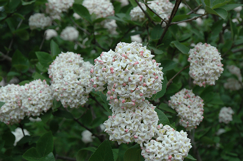 Fragrant viburnum tree form viburnum x carlcephalum tree form fragrant viburnum tree form viburnum x carlcephalum tree form mightylinksfo