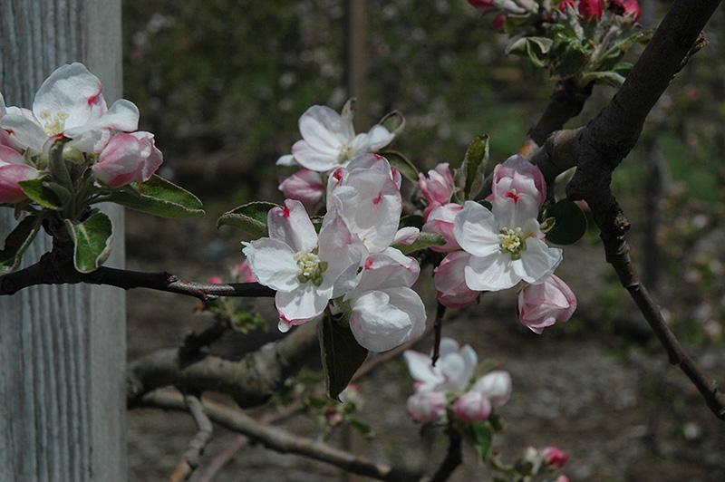 Gravenstein Apple (Malus 'Gravenstein') in Hamilton