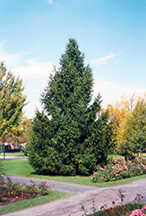 Norway Spruce (Picea abies) at Paterno Nurseries
