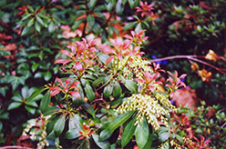 Japanese Pieris (Pieris japonica) at Paterno Nurseries