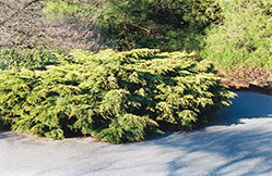Pfitzer Juniper (Juniperus x media 'Pfitzeriana') at Paterno Nurseries