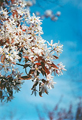 Robin Hill Serviceberry (Amelanchier x grandiflora 'Robin Hill') at Paterno Nurseries