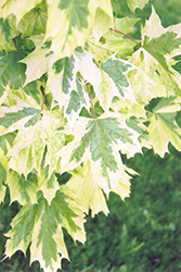 Harlequin Norway Maple (Acer platanoides 'Harlequin') at Paterno Nurseries