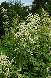 Goatsbeard (Aruncus dioicus) at Paterno Nurseries