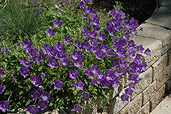 Blue Clips Bellflower (Campanula carpatica 'Blue Clips') at Paterno Nurseries