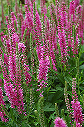 Red Fox Speedwell (Veronica spicata 'Red Fox') at Paterno Nurseries