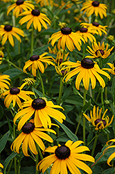 Goldsturm Coneflower (Rudbeckia fulgida 'Goldsturm') at Paterno Nurseries