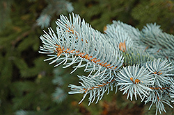 Blue Colorado Spruce (Picea pungens 'var. glauca') at Paterno Nurseries