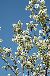 Allegheny Serviceberry (Amelanchier laevis) at Paterno Nurseries