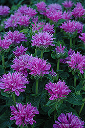 Petite Delight Beebalm (Monarda 'Petite Delight') at Paterno Nurseries