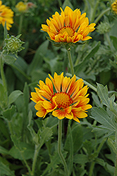 Oranges And Lemons Blanket Flower (Gaillardia x grandiflora 'Oranges And Lemons') at Paterno Nurseries
