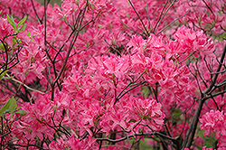 Northern Lights Azalea (Rhododendron 'Northern Lights') at Paterno Nurseries