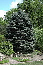 Fat Albert Blue Spruce (Picea pungens 'Fat Albert') at Paterno Nurseries