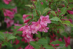 Minuet Weigela (Weigela florida 'Minuet') at Paterno Nurseries