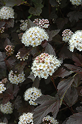 Diablo Ninebark (Physocarpus opulifolius 'Diablo') at Paterno Nurseries