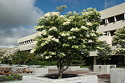 Ivory Silk Japanese Tree Lilac (Syringa reticulata 'Ivory Silk') at Paterno Nurseries
