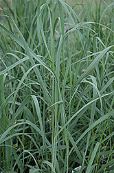 Heavy Metal Blue Switch Grass (Panicum virgatum 'Heavy Metal') at Paterno Nurseries