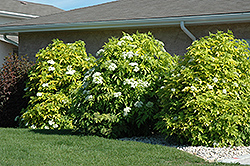 Golden American Elder (Sambucus canadensis 'Aurea') at Paterno Nurseries