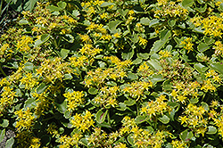 Golden Carpet Stonecrop (Sedum kamtschaticum 'Golden Carpet') at Paterno Nurseries