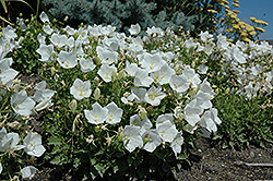 White Clips Bellflower (Campanula carpatica 'White Clips') at Paterno Nurseries