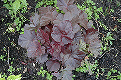 Obsidian Coral Bells (Heuchera 'Obsidian') at Paterno Nurseries