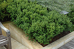 Dark Green Spreader Yew (Taxus x media 'Dark Green Spreader') at Paterno Nurseries