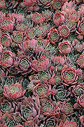 Purple Beauty Hens And Chicks (Sempervivum 'Purple Beauty') at Paterno Nurseries