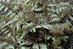 Red Beauty Painted Fern (Athyrium nipponicum 'Red Beauty') at Paterno Nurseries