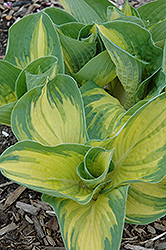 Great Expectations Hosta (Hosta 'Great Expectations') at Paterno Nurseries