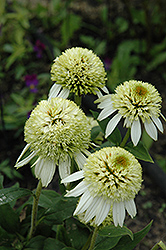 Coconut Lime Coneflower (Echinacea 'Coconut Lime') at Paterno Nurseries