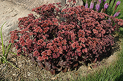 Purple Emperor Stonecrop (Sedum 'Purple Emperor') at Paterno Nurseries