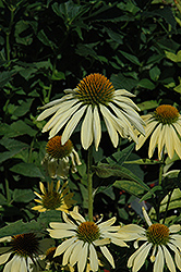 Big Sky Sunrise Coneflower (Echinacea 'Big Sky Sunrise') at Paterno Nurseries