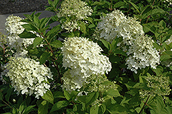 Little Lamb Hydrangea (Hydrangea paniculata 'Little Lamb') at Paterno Nurseries