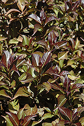 Dark Horse Weigela (Weigela florida 'Dark Horse') at Paterno Nurseries