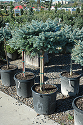 Globe Blue Spruce (tree form) (Picea pungens 'Globosa (tree form)') at Paterno Nurseries