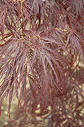 Garnet Cutleaf Japanese Maple (Acer palmatum 'Garnet') at Paterno Nurseries