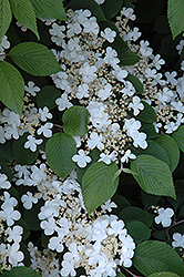 Maries Doublefile Viburnum (Viburnum plicatum 'Mariesii') at Paterno Nurseries