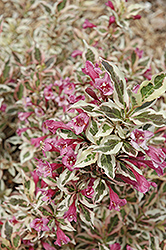 My Monet® Weigela (Weigela florida 'Verweig') at Paterno Nurseries