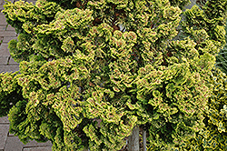 Dwarf Golden Hinoki Falsecypress (Chamaecyparis obtusa 'Nana Lutea') at Paterno Nurseries