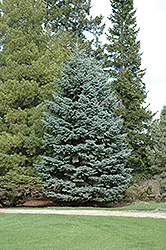 Mission Blue Colorado Spruce (Picea pungens 'Mission Blue') at Paterno Nurseries