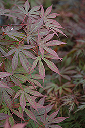 Suminagashi Japanese Maple (Acer palmatum 'Suminagashi') at Paterno Nurseries