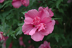 Lucy Rose Of Sharon (Hibiscus syriacus 'Lucy') at Paterno Nurseries