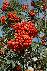 Russian Mountain Ash (Sorbus aucuparia 'Rossica') at Paterno Nurseries