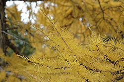 European Larch (Larix decidua) at Paterno Nurseries