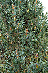Scotch Sentinel Pine (Pinus sylvestris 'Fastigiata') at Paterno Nurseries