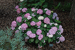 Pink Beauty Hydrangea (Hydrangea macrophylla 'Pink Beauty') at Paterno Nurseries