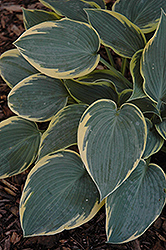 First Frost Hosta (Hosta 'First Frost') at Paterno Nurseries