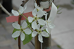 Bosc Pear (Pyrus communis 'Bosc') at Paterno Nurseries
