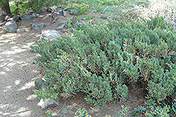 San Jose Juniper (Juniperus chinensis 'San Jose') at Paterno Nurseries