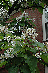 Northern Catalpa (Catalpa speciosa) at Paterno Nurseries